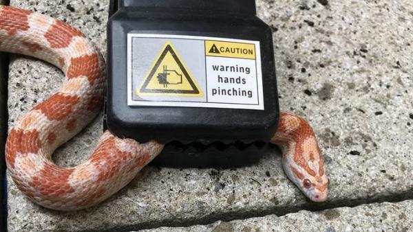 Mouse-Eating Snake Rescued From Mousetrap