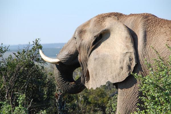 Elephants are being killed for their ivory tusks