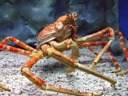 Live Japanese Spider Crab (Photo by Tsarli/Creative Commons via Wikimedia)