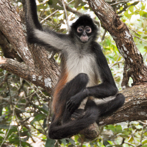 Spider Monkey: (Photo by B Mlry /Creative Commons via Flickr)
