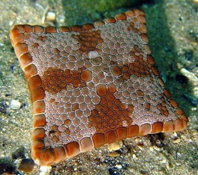 Square Bisuit Sea Star (Photo via Unusual Facts)
