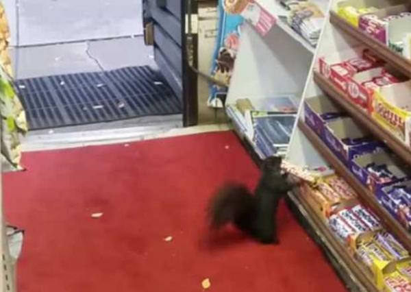 Sweet-Toothed Squirrels Cop Chocolate Bars From Corner Store