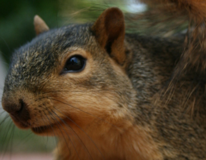 Squirrel (Photo by Cody Hough/Creative Commons via Wikimedia)