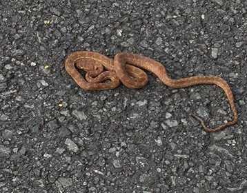 Aussie Snake Snagged While Stowing Away To Snake-Free New Zealand