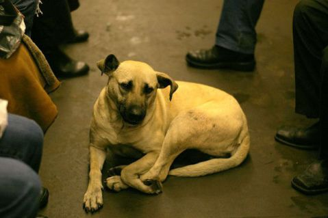 A Dog Traveling On The Moscow Subway (Photo by Adam Baker/Creative Commons via Wikimedia)