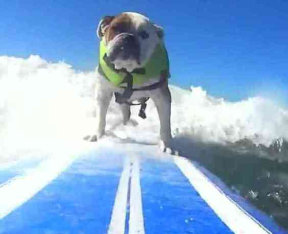 Cowabunga Dog! A Bull Dog Enjoying the Surf Dog Competition (You Tube Image)