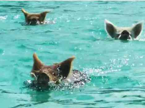 Swimming Pigs of Pig Island (You Tube Image)