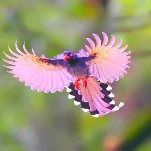 Taiwan Blue Magpie (Image via 1,000,000 Pictures)