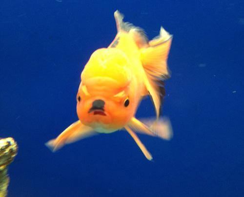 Hitler Fish (Image via The Poke)