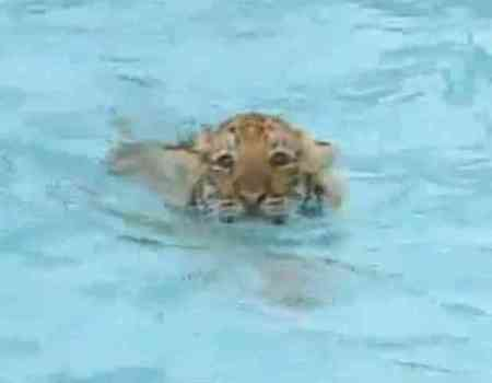 Tony the Tiger Cub (You Tube Image)