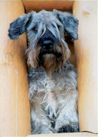 The Cesky Terrier: image via puppydogweb.com