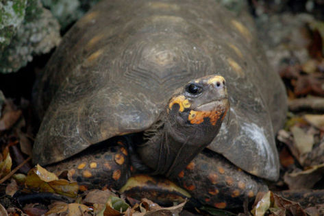 Red-Footed Tortoise (Photo by Postdlf/Creative Commons via Wikimedia)