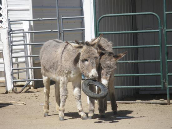 Donkeys at play: image via donkeyrescue.donordrive.com