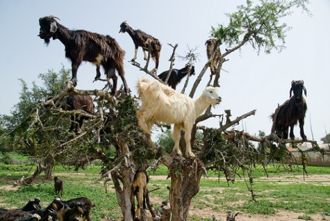 Herds have to take turns letting each goat have a chance to climb to the top in search of the best fruit.