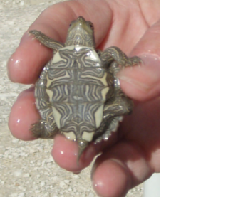 The sale of small turtles have been banned in the U.S.: image via CDC