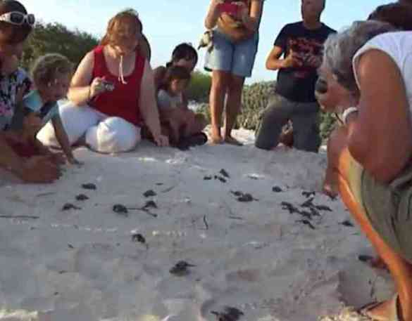 Human Wall Protects Baby Loggerheads' Journey (You Tube Image)