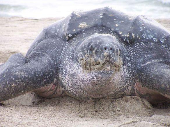 Leatherback Turtle (Public Domain Image)