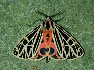 Virgin Tiger Moth: Image by Steve Walter