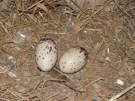 Turkey Vulture eggs: (Photo by JohnCarton /Creative Commons via Flickr)