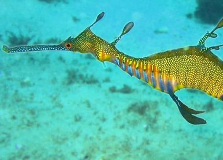 Weedy Sea Dragon (Photo by Richard Ling/Creative Commons via Wikimedia)