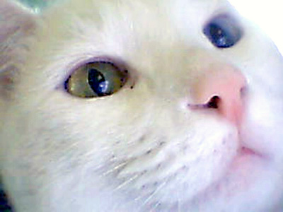 White Cat (Public Domain Image)