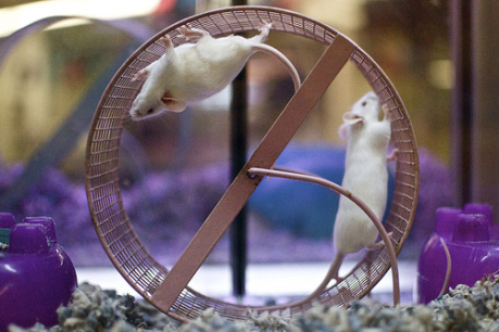 Two White Self Mice: (Photo by tasayu /Creative Commons via Flickr)