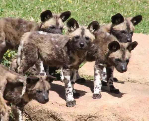 Australian Zoo Welcomes 11 New Endangered African Wild Dog Pups