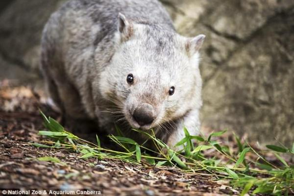 Winnie The Wombat Is 31 Years Young!