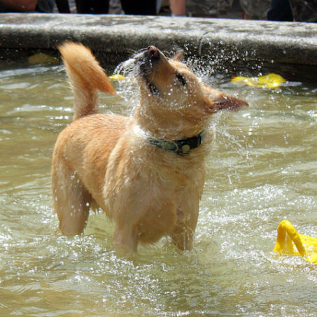 Dog Having Fun in the Sun at Woofstock in Toronto, 2011 (Photo by Ryan/Creative Commons via Wikimedia)