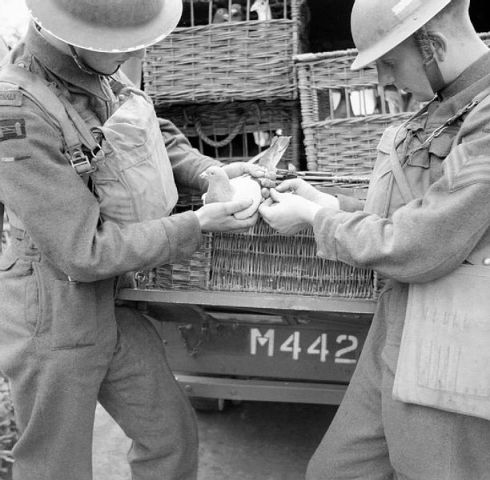 Pigeon being fitted with a message during WWI (Public Domain Image)