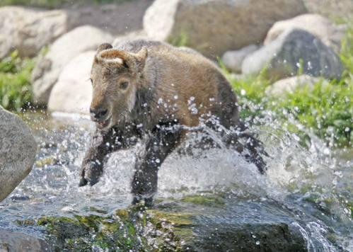 Rare Sichuan takin born in Red River Zoo: image via inforum.com