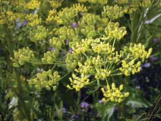 Wild parsnip: image via extension.umn.edu