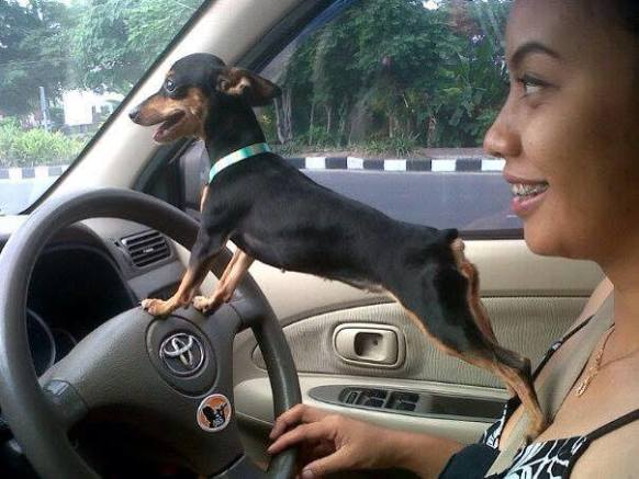 Driving Doggie (Image via Dog Lovers)