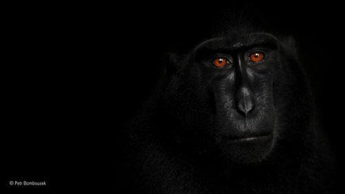 Black Crested Macaque: photo by Petr Bambousek/Wildlife Photographer of the Year 2015