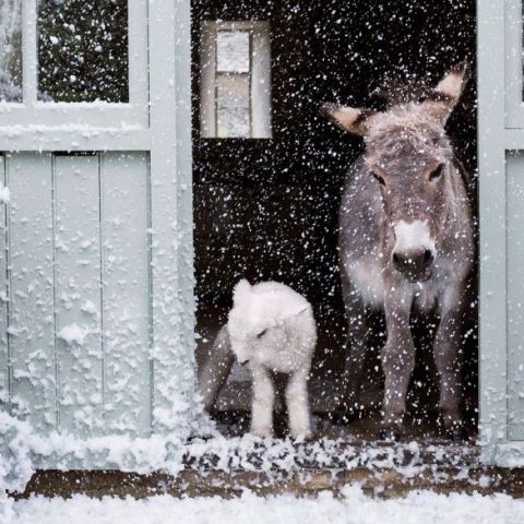 Donkey and Friend in the Snow (Image via Town and Country Magazine)