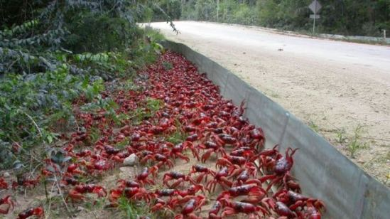 Barriers keep the crabs off the road and guide them to the overpass: image via abc.net.au