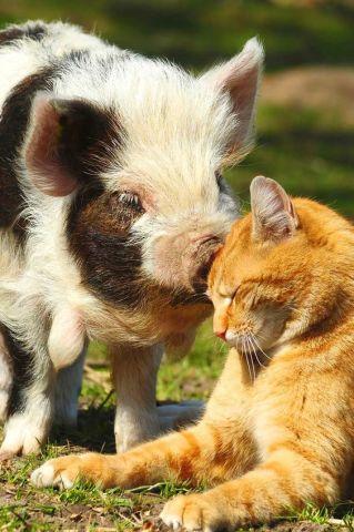 Pig Kissing a Ginger Cat