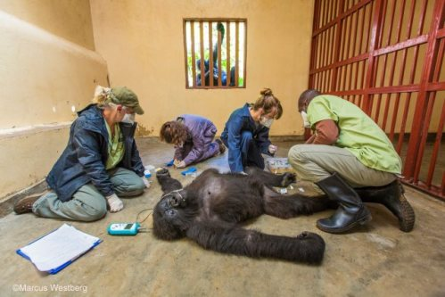 Gorilla Doctors: photo by Marcus Westburg/Wildlife Photographer of the Year 2015