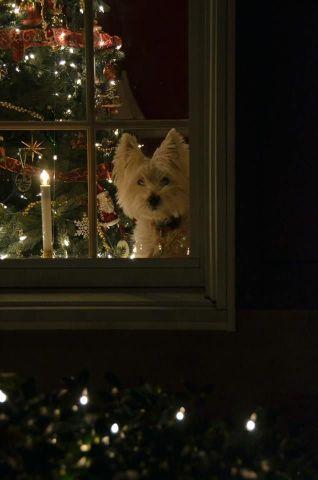 Waiting Christmas Dog