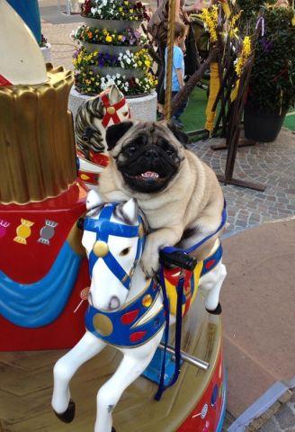 Carousel Dog (Image via So DogGone Funny)