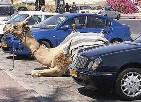 Camel Parking (Image via Tumblr)