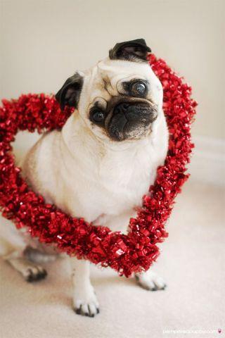 Valenntine Pug (Image via Happy Pet Playtime)