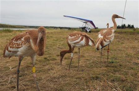 Siberian white cranes: image: REUTERS/Alexsey Druginyn/RIA Novosti/Kremlin via ca.news.yahoo.com