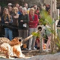 'Tiger Tug' at Busch Gardens, Tampa, FL: image via 970wfla.com
