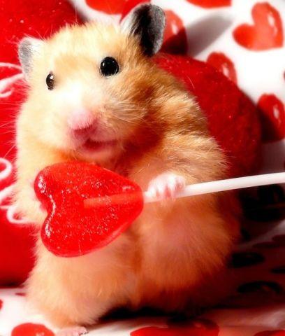 Sweetheart Hamster