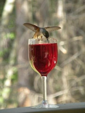 Wine-Drinking Hummingbird