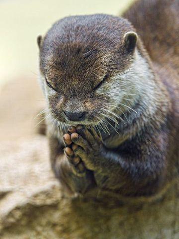 Praying Otter (Image via fllickr)