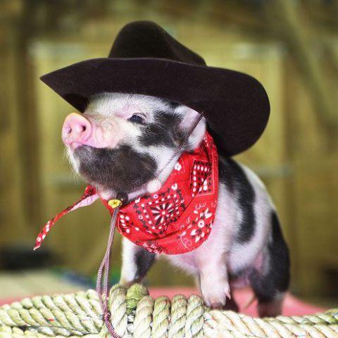 Cow-pig (Image via BuzzFeed)