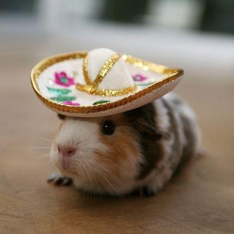 Cinco de Mayo Guinea Pig (image via BuzzFeed)