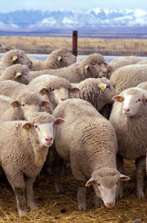Sheep are not just 'sheep.': image via wikipedia.com